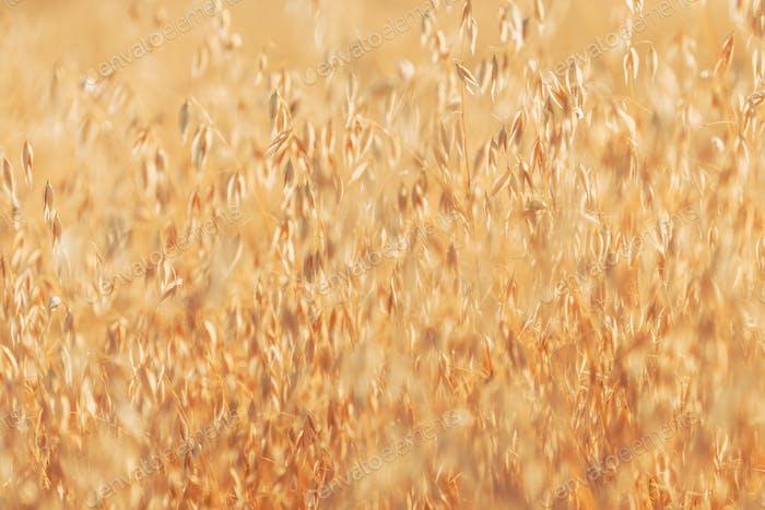 Ripe oat crops in field ready for harvest