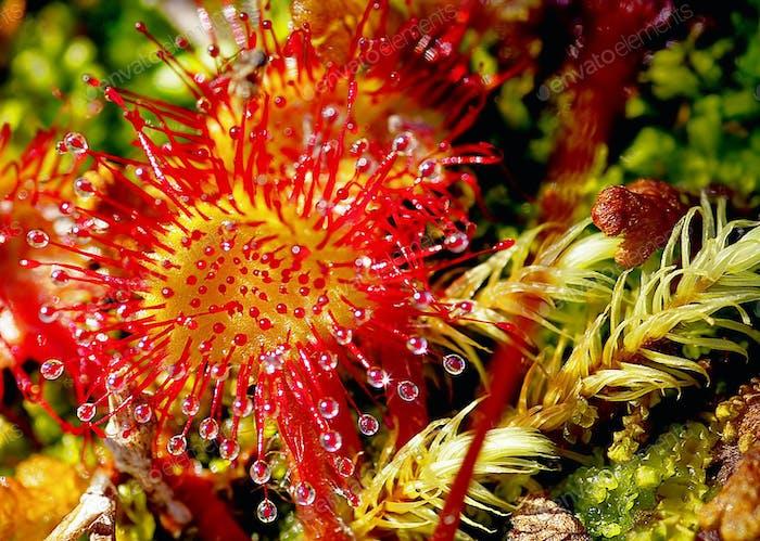 Sonnentau (drosera rotundifolia) insektivoröse klebrige Pflanze