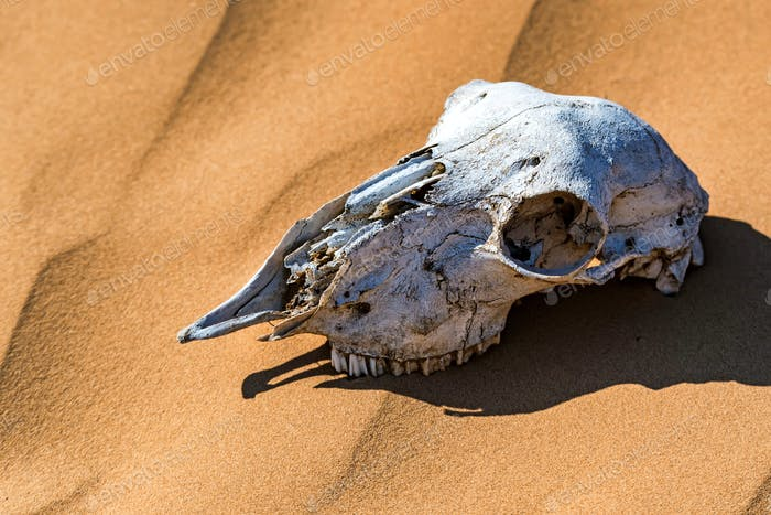 Sheep skull in sand close