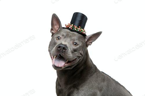 beautiful thai ridgeback dog in high hat