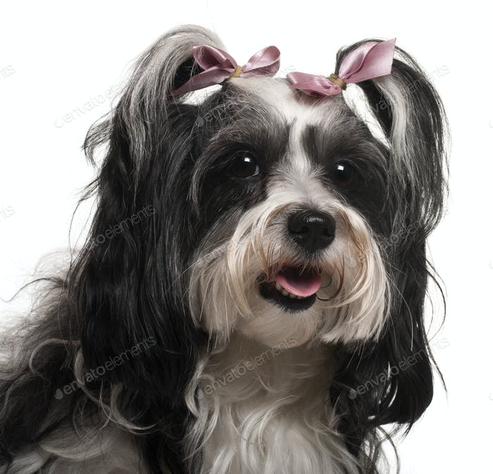 Close-up of Havanese, 3 years old, in front of white background