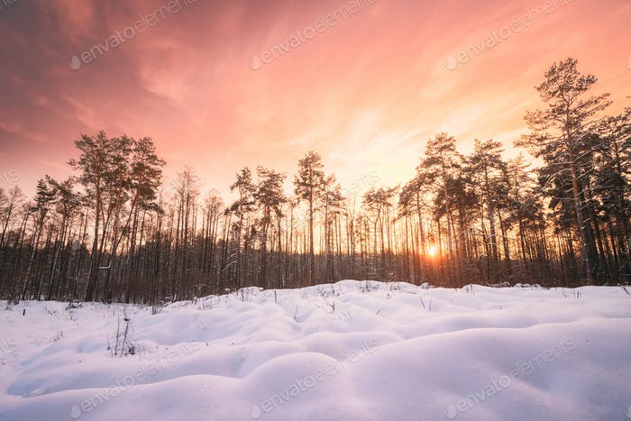 Natural Sunset Sunrise Over Forest. Pink Color Sky Over Winter S