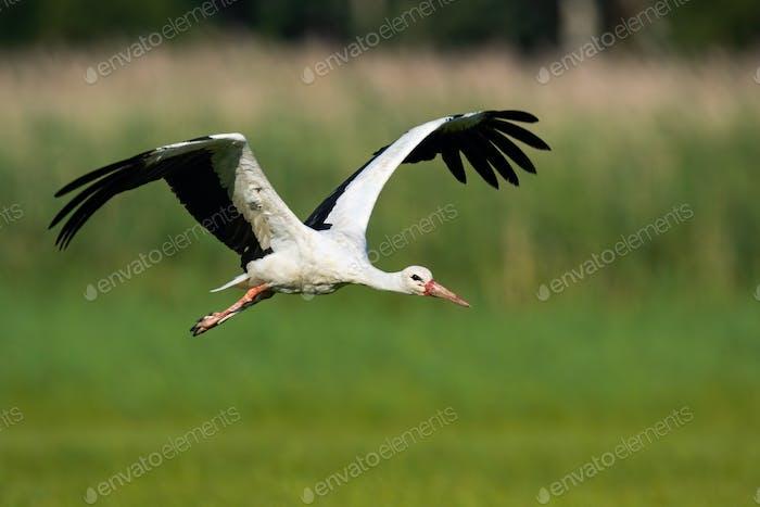Weißstorch fliegt über Wiese mit offenen Flügeln in der Sommernatur