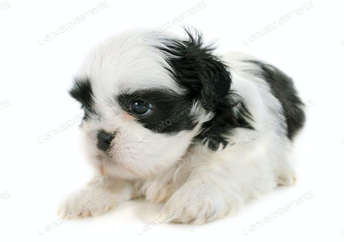 puppy shih tzu