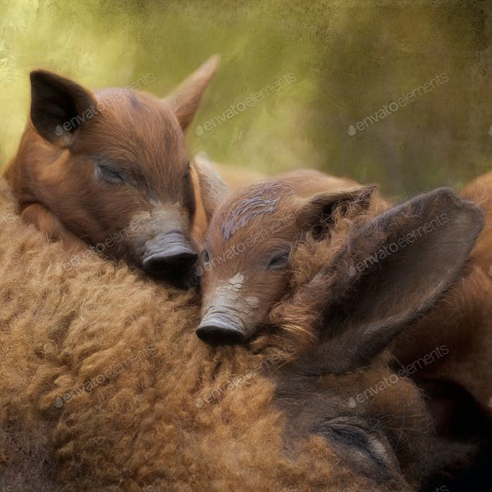 Composite of two mangalitsa piglets napping on their sleeping mother.
