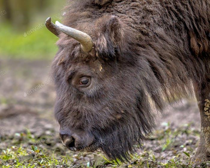 Grazing Wisent bull
