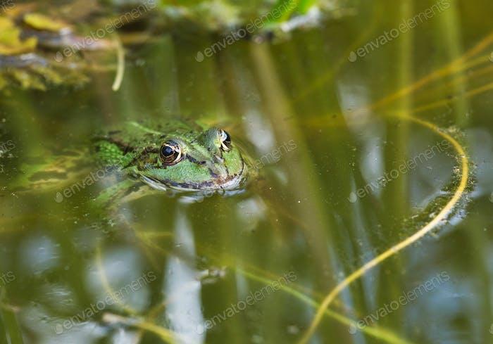 Der Essbare Frosch (Pelophylax kl. esculentus)