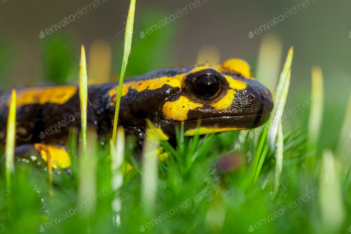 Head of Fire salamander in bright green moss