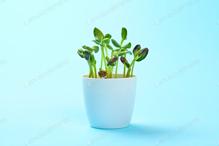 Microgreen sprout