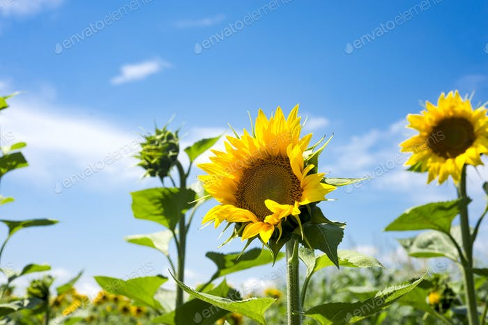 The charming landscape of sunflowers against the sky. Sunflowers garden.