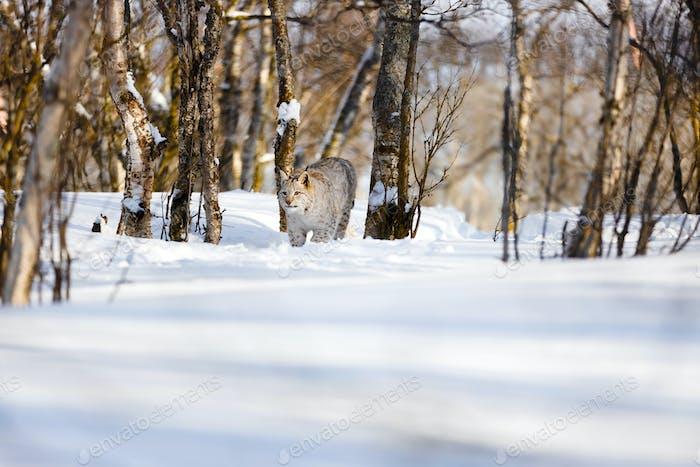Eurasian lynx strolling on snow amidst bare trees