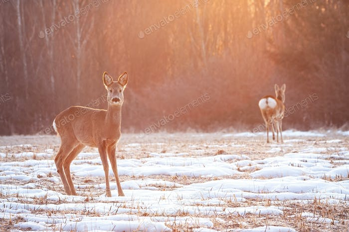 Two roe deer on a meadow early in the morning with sun rays shining