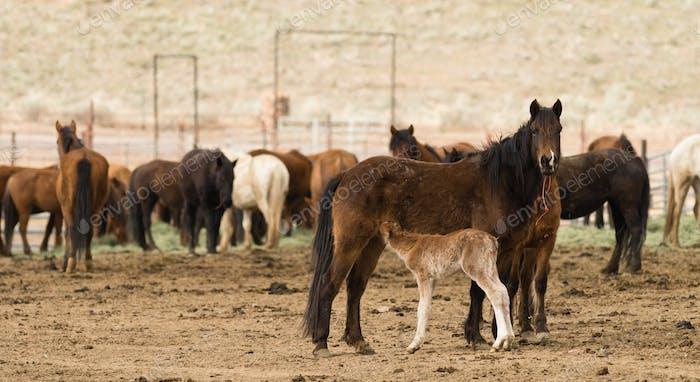 Wild Horses Collected Oregon State Horse Pony Nachkommen