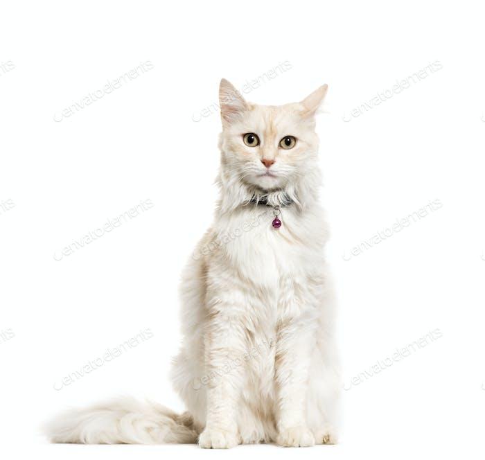Sitting Angora Cat wearing a cat bell, collar, cut out