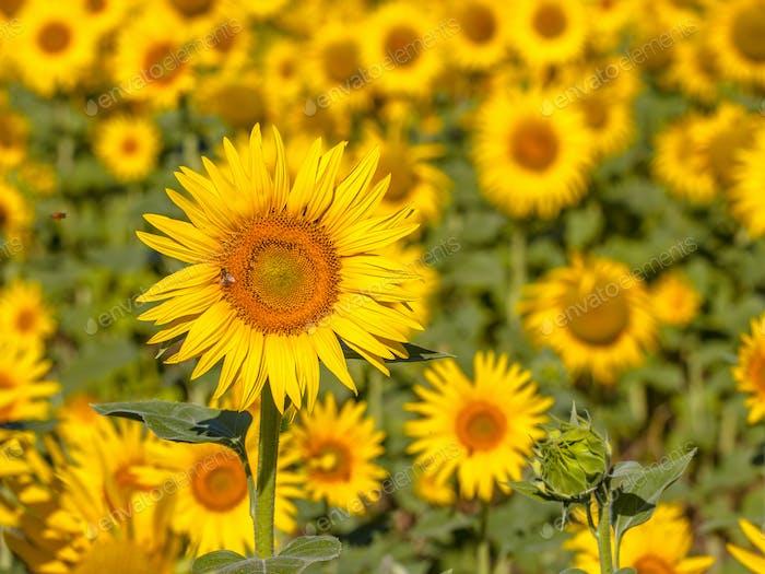 Detail des Feldes der Sonnenblume
