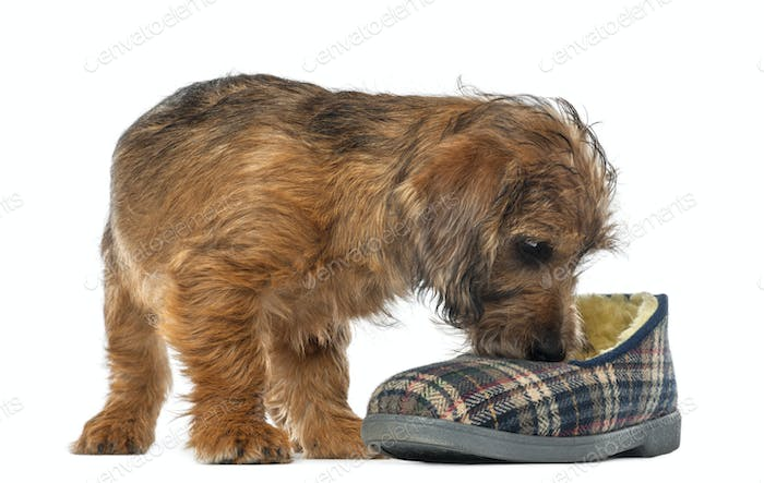 Mixed-breed dog puppy, 3 months old, sniffing slipper against white background