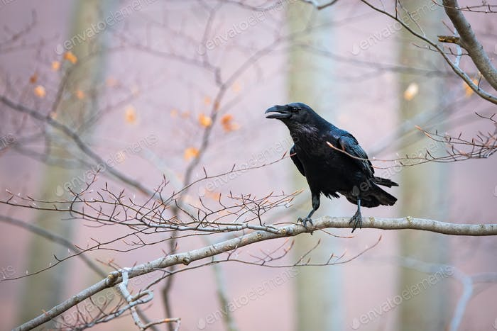 Common raven sitting on branch in autumn nature