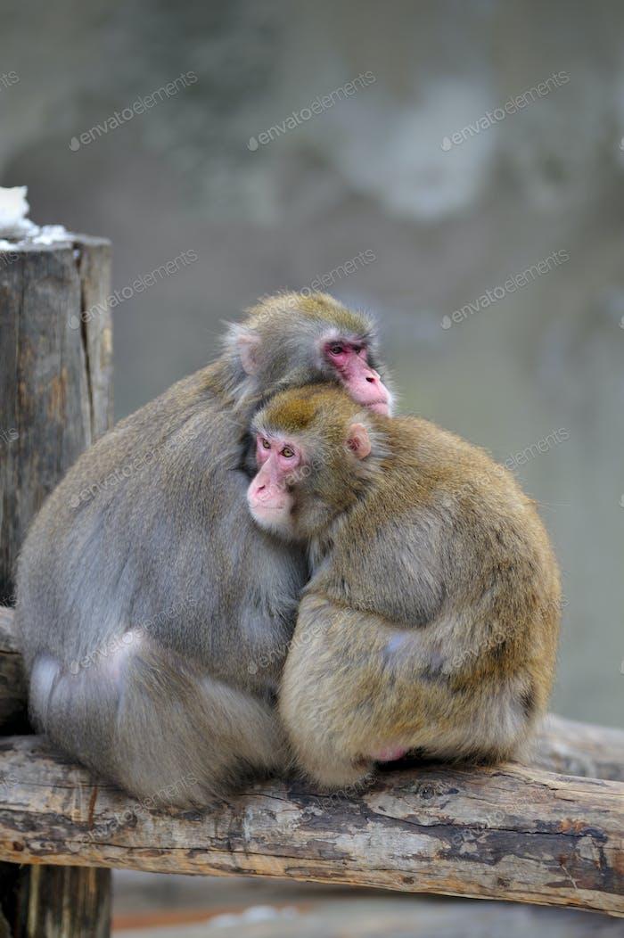 Paar Affen