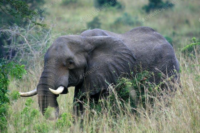 Elefante Africano, Uganda, África