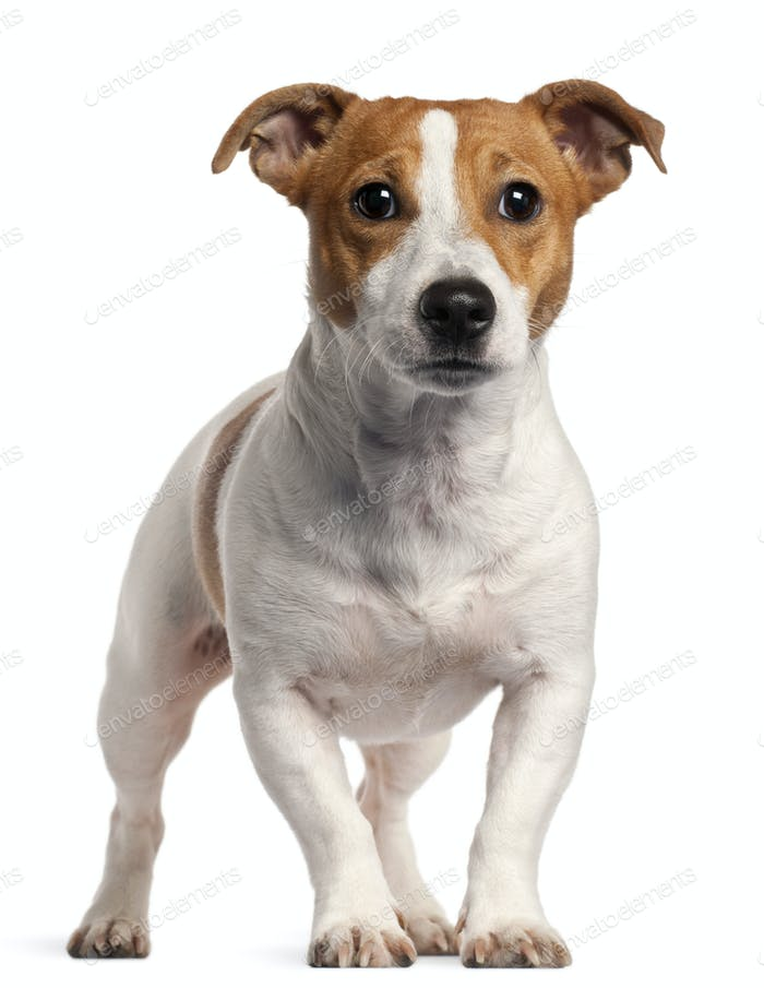 Jack Russell Terrier, 16 months old, standing in front of white background