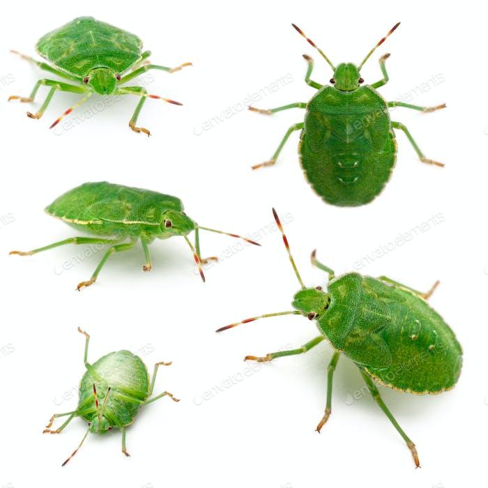 Green shield bugs, Palomena prasina, in front of white background