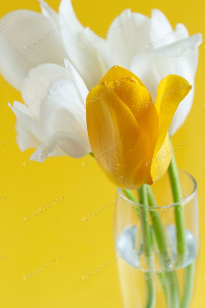White and yellow Tulips on a yellow background