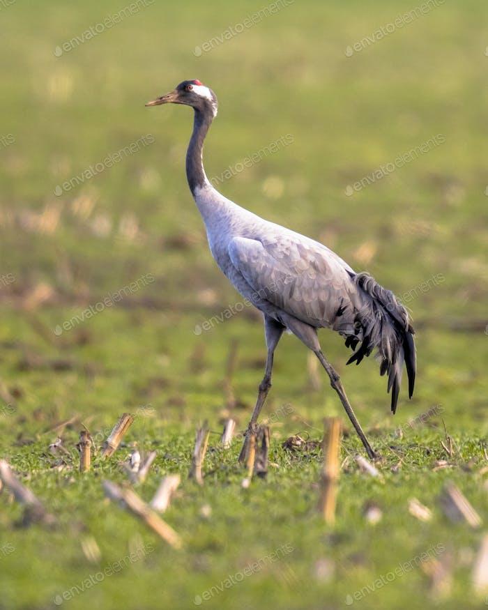 Crane in grass field