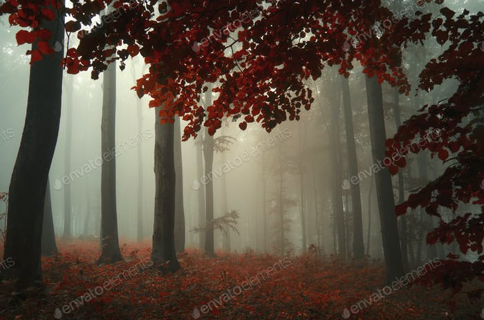 Autumn woods with red leaves and fog