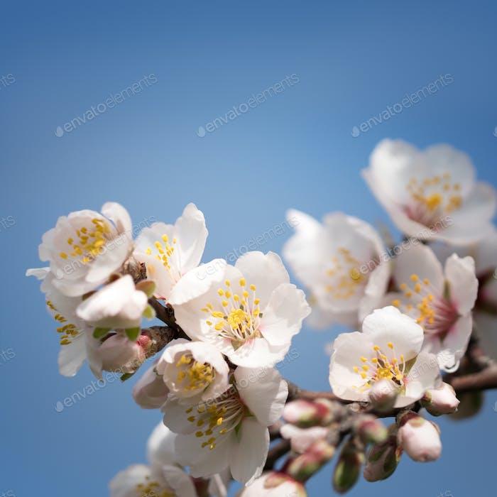 Branch flowering almonds