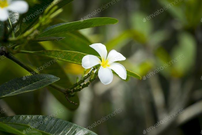 flor frangipani blanca