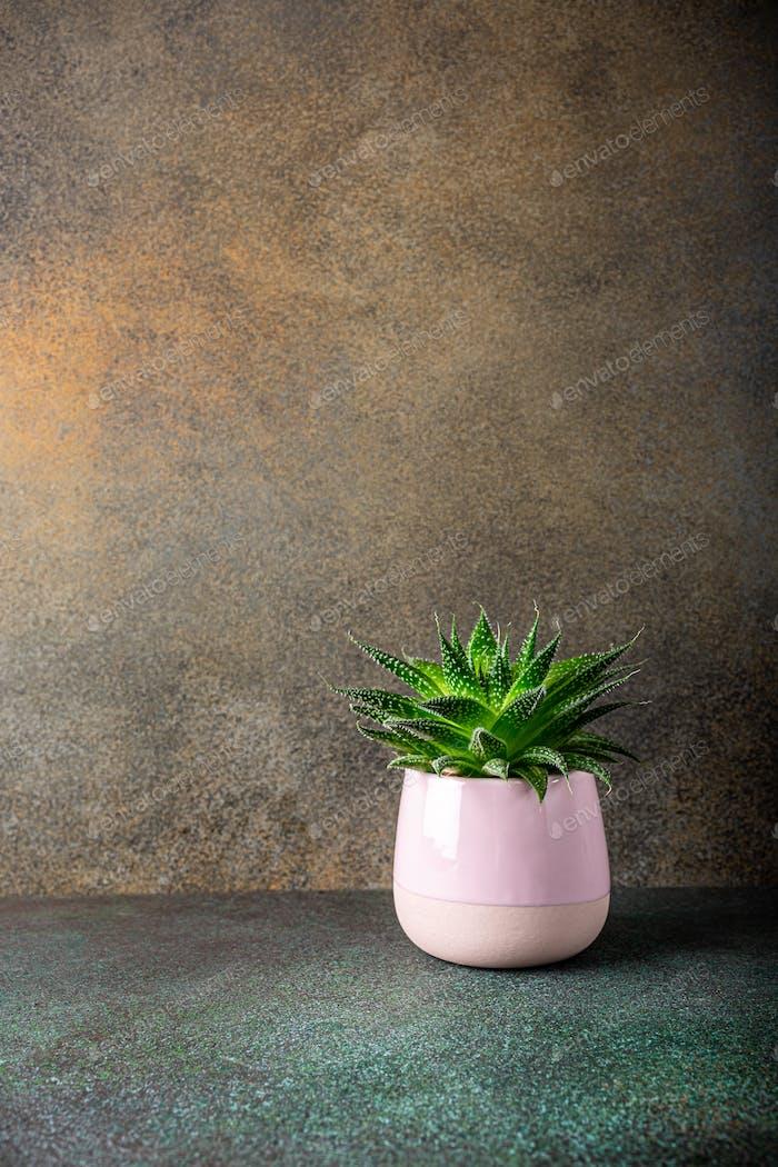 Zimmerpflanze Sukkulenten