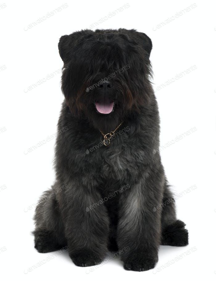 Bouvier des Flandres dog sitting in front of white background