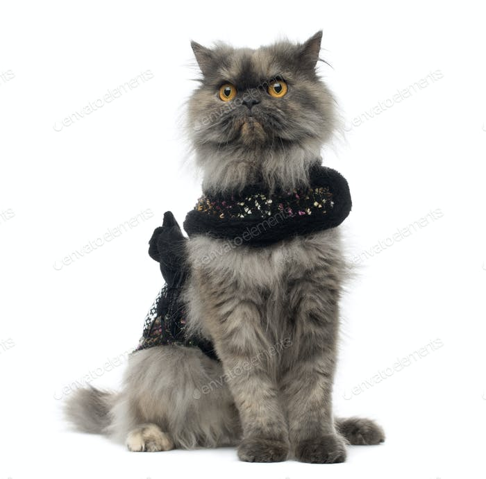 Grumpy Persian cat wearing a shiny harness, sitting, isolated on white
