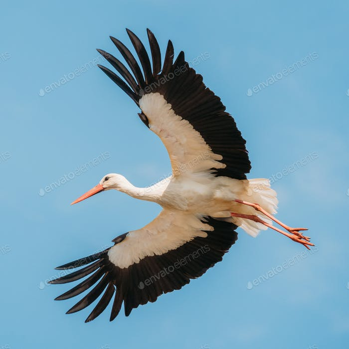 Adult European White Stork Flies In Blue Sky With Its Wings Spread Out