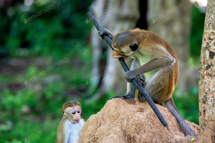 Serious monkey holding stick
