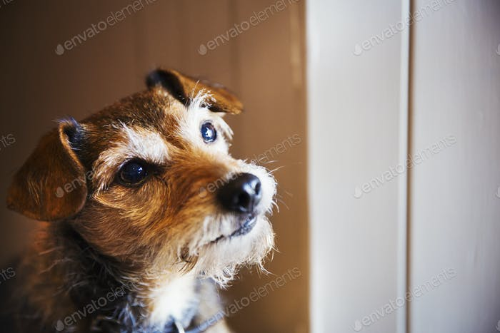 A small terrier dog looking up alert and inquisitive.