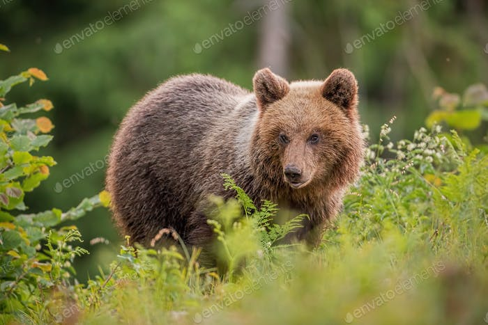 Fluffy young brown bear, ursus arctos, in summer at sunset