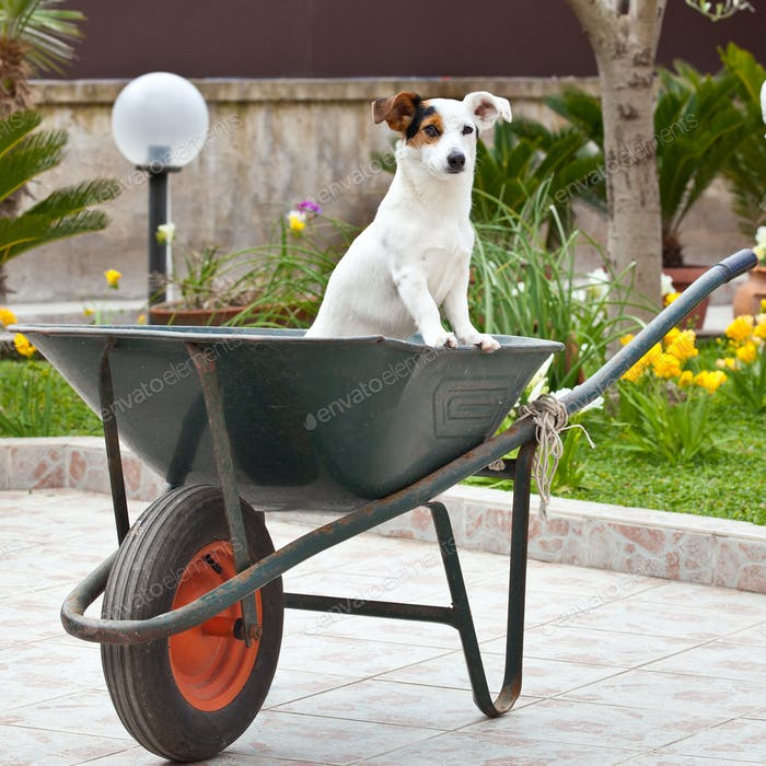 Jack Russell sitting in wheelbarrow