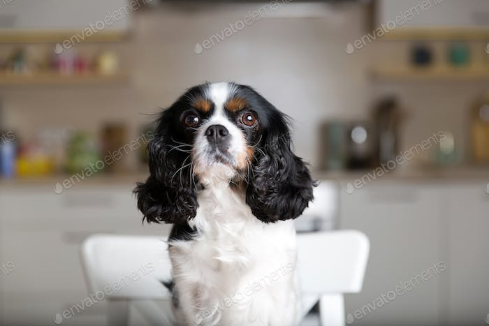 Dog on the kitchen chair