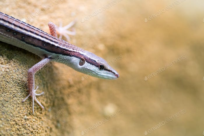 Popular pet gecko, gecko a night active lizard