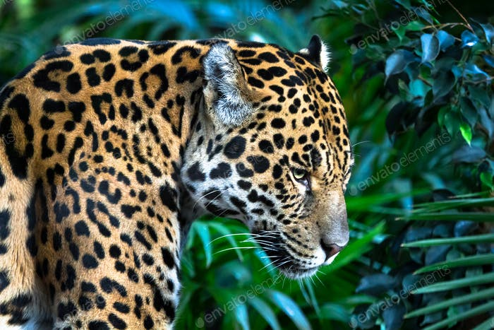 Jaguar Among Jungle Vegetation