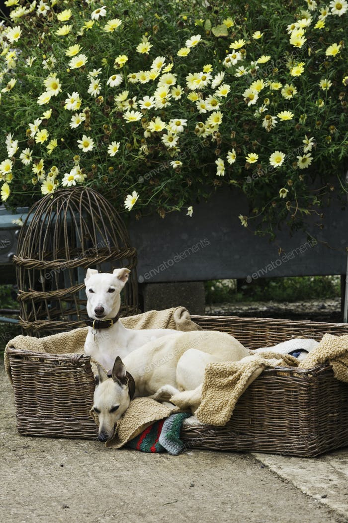 Две борзая собаки