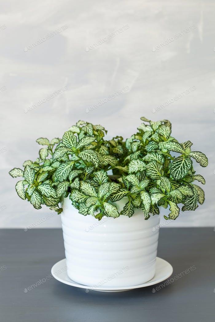 houseplant fittonia albivenis in white flowerpot