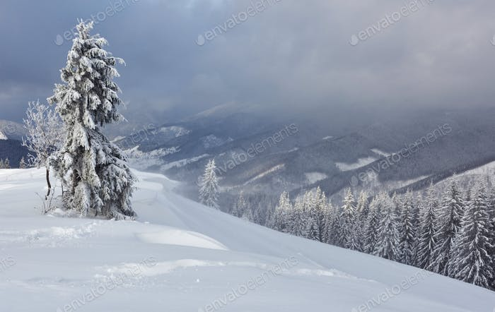 Great winter photo in Carpathian mountains with snow covered fir trees. Colorful outdoor scene