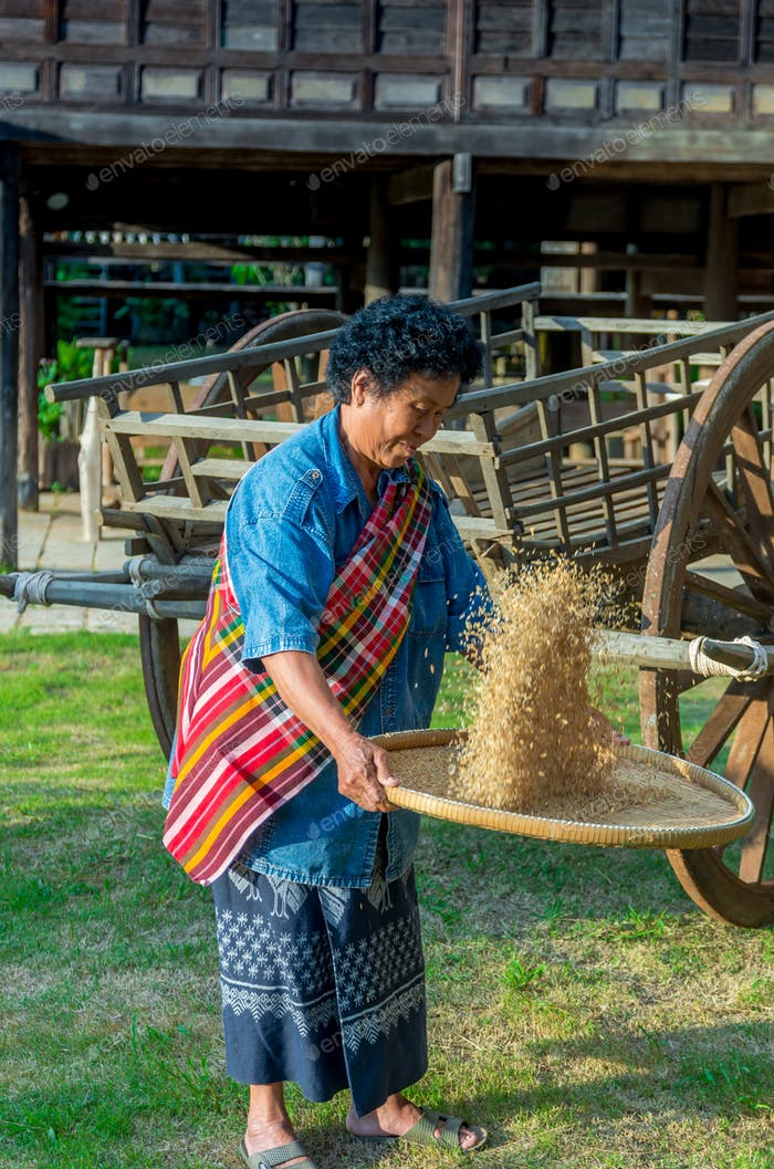 senior farmers are working with rice around the rice field at the evening