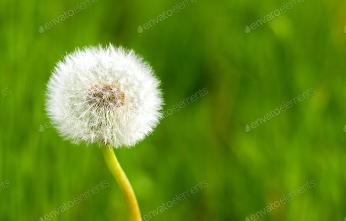 Dandelion flower close up against vivid summer grass background. Space for text.