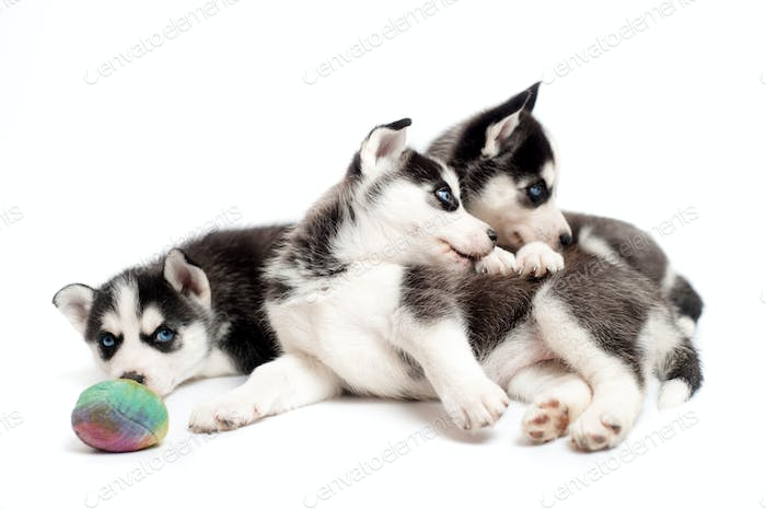 Three husky cubs playing with a ball in studio