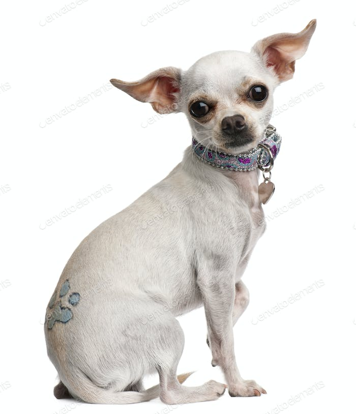 Chihuahua, 1 year old, with tattoo and collar, sitting in front of white background