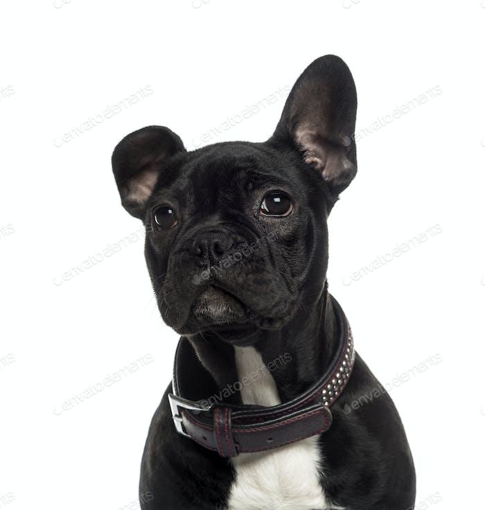 Close-up of French Bulldog looking away