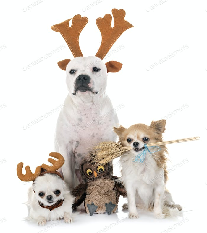 staffordshire bull terrier and chihuahuas